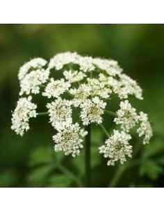 Angelica Sinensis 60 cps DVR Pharm, Angelica Sinensis 60 cps DVR Pharm Angelica Sinensis este o plantă cu un rol benefic în trat